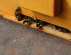 Pollen sammelnde Bienen