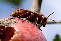 Bienenkunde, die Hornisse fängt auch Bienen um ihre Brut damit zu füttern