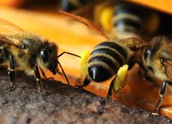 Pollensammlerin, Pollen, Bienenprodkute