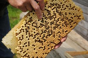 Kalkbrut im Bienenvolk, Bienenkrankheit