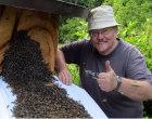 Bienen bauen ein neues Volk auf