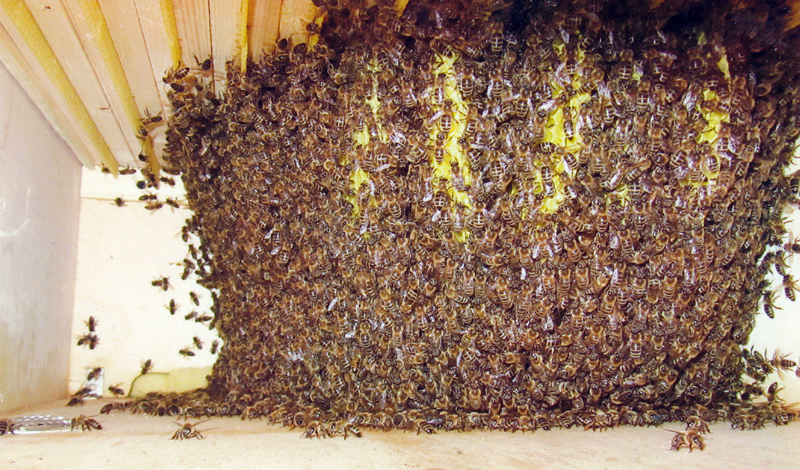 Naturwabenbau in der Bienenkiste