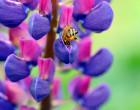 Bienenweide Lupinen