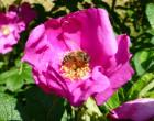 Bienenweide Wilde Rosen